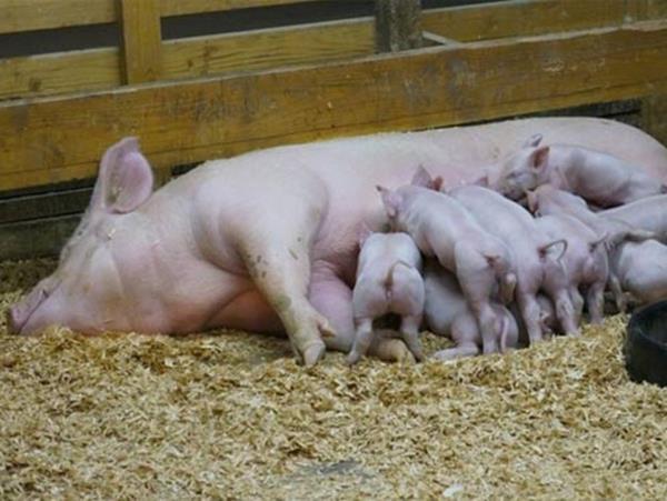 Mơ thấy lợn nái thử vận may với cặp số tài lộc nào?