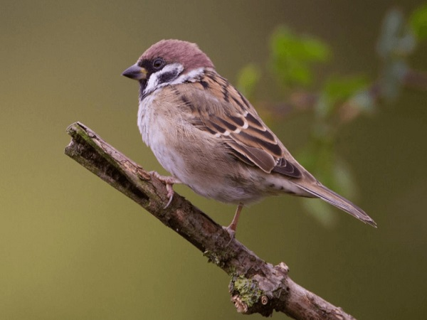 Mơ thấy chim sẻ điềm báo tốt hay xấu?