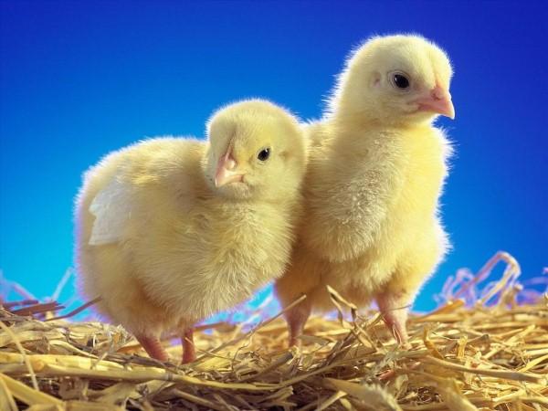Mơ thấy gà con điềm báo lành hay dữ